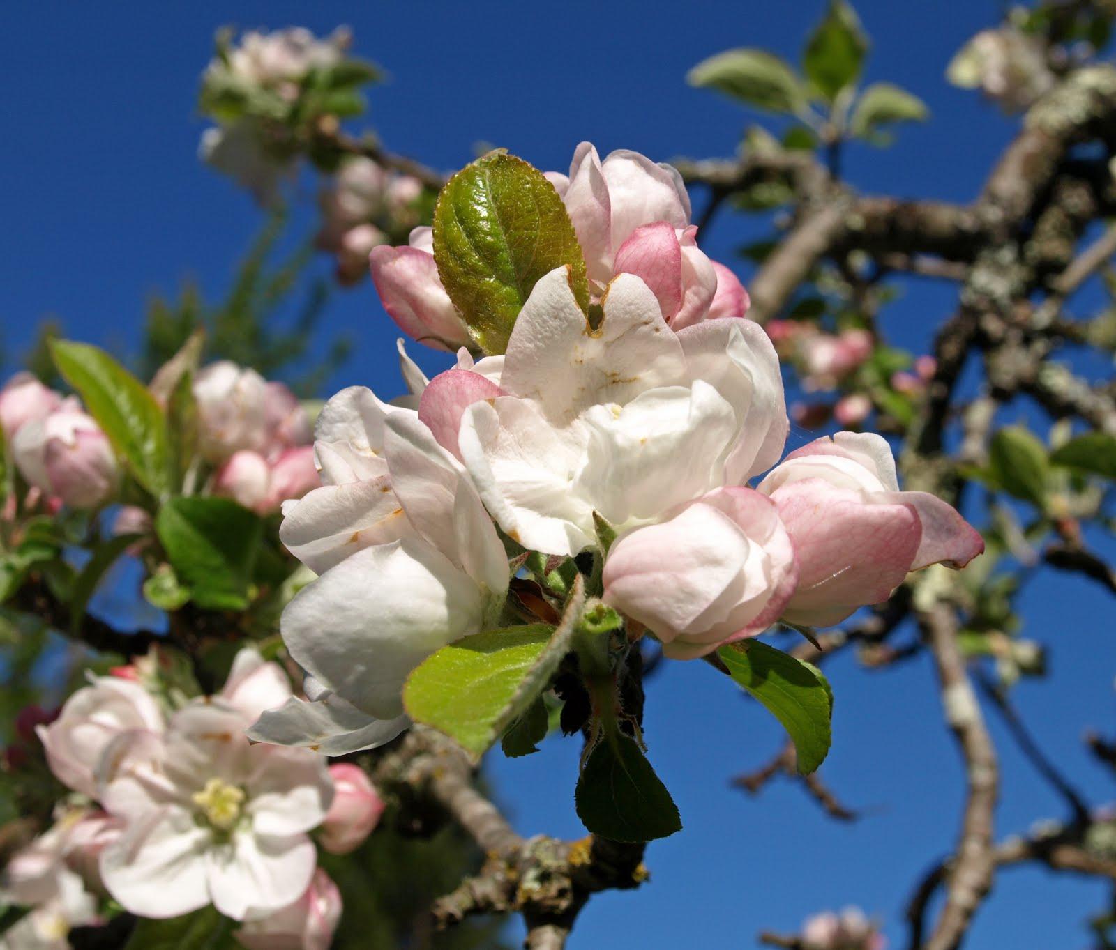 shelley macdonald designs apple blossom time. Black Bedroom Furniture Sets. Home Design Ideas