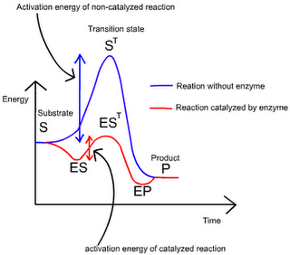 Chemistry in My Daily Life: Enzymes – The nature catalysts