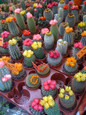 Amsterdam Flower Market, flowers, flower market, plants, cacti, cactus, grafted cactus