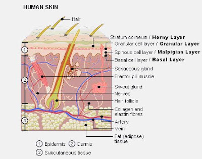 Dermis Layer Diagram Briggs And Stratton Oil Change 7 Layers Of Skin Great Installation Wiring Labeled Hypodermis Free Engine In Order
