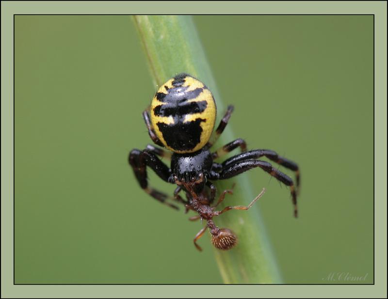 L'Araignée napoléon