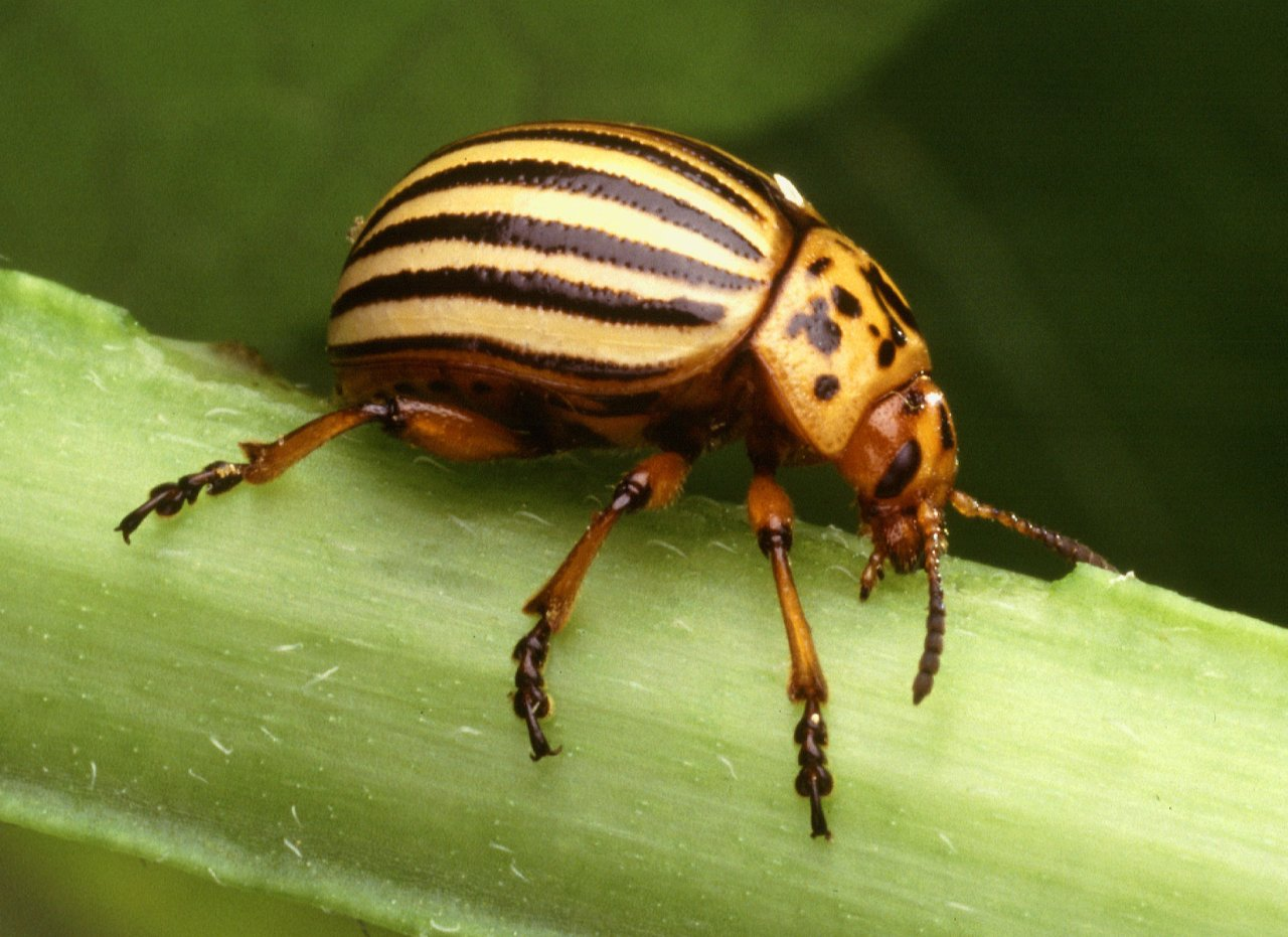 Horn Farm Community Gardens: Colorado Potato Beetle