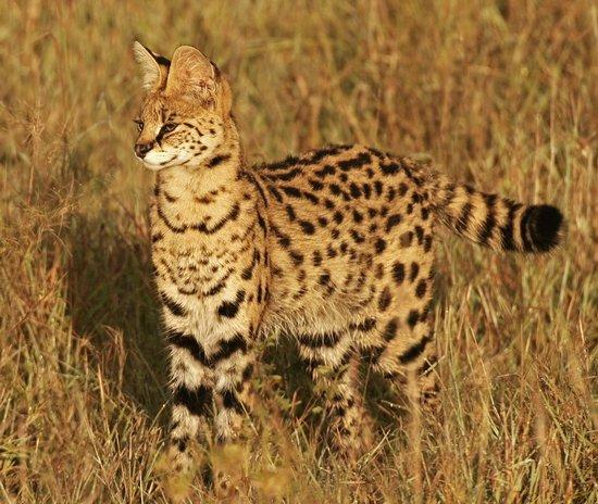 Kucing Hutan dan Cara Memeliharanya Dirumah