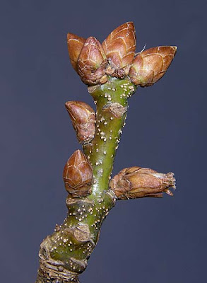 For more posts on tree ID click hereQuercus Nigra Buds