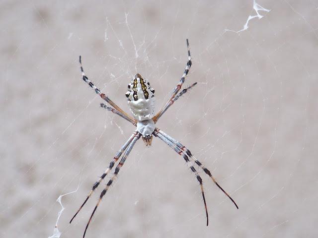 Arigope Spider