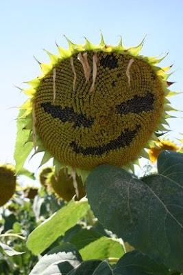Artistic Sunflowers (8) 2