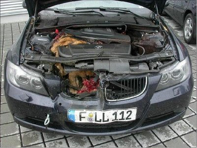 Deer in engine compartment (4) 1