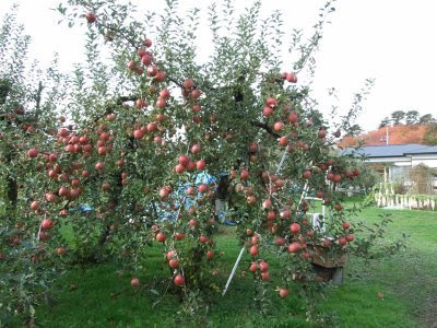 Apple Logo On Apple Tree (6) 2