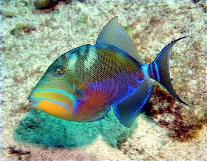 The state fish of Hawaii is the humuhumunukunukuapua?a. The Hawaiian