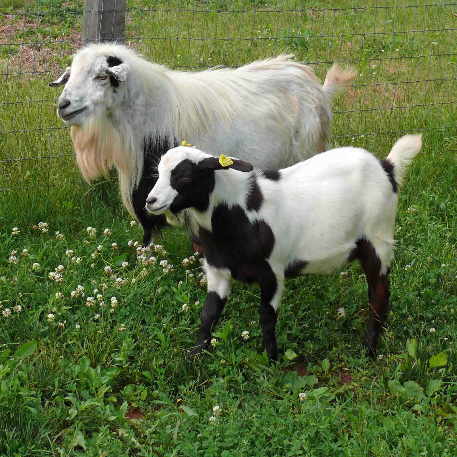 P Goat Names What is a fainting goat