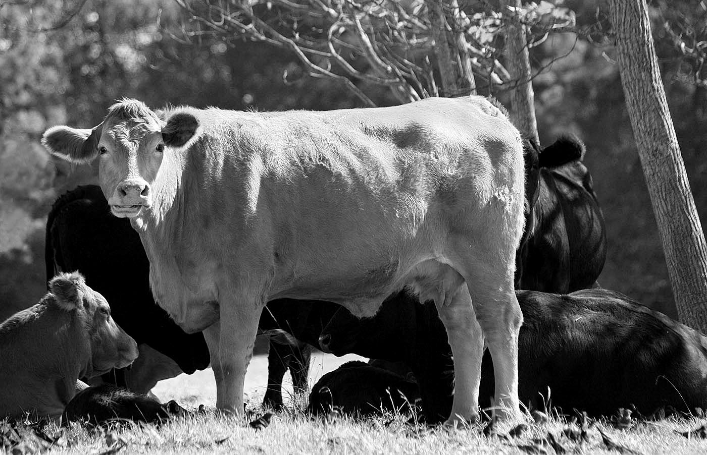 Southern Lagniappe  How Now  Black And White Cow