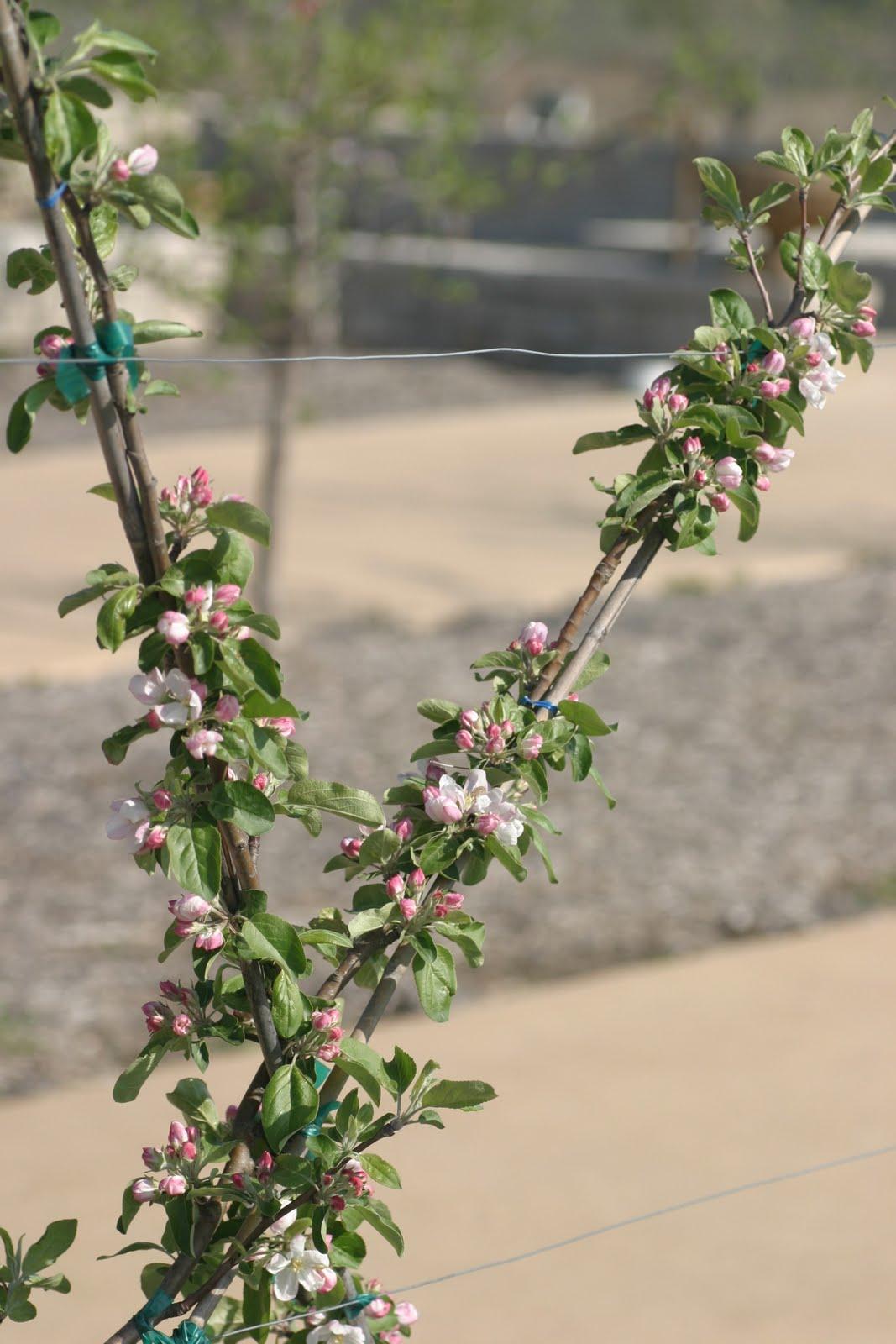 Flowering Beauties That Bear Fruit Powell Gardens