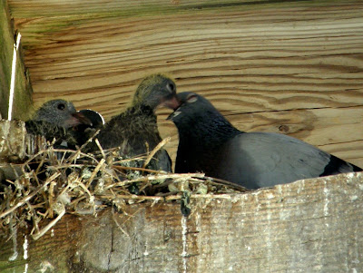 The pigeon gives crop milk to the young. Photo: Susannah A. Lower Fraser of Wanderin Weeta