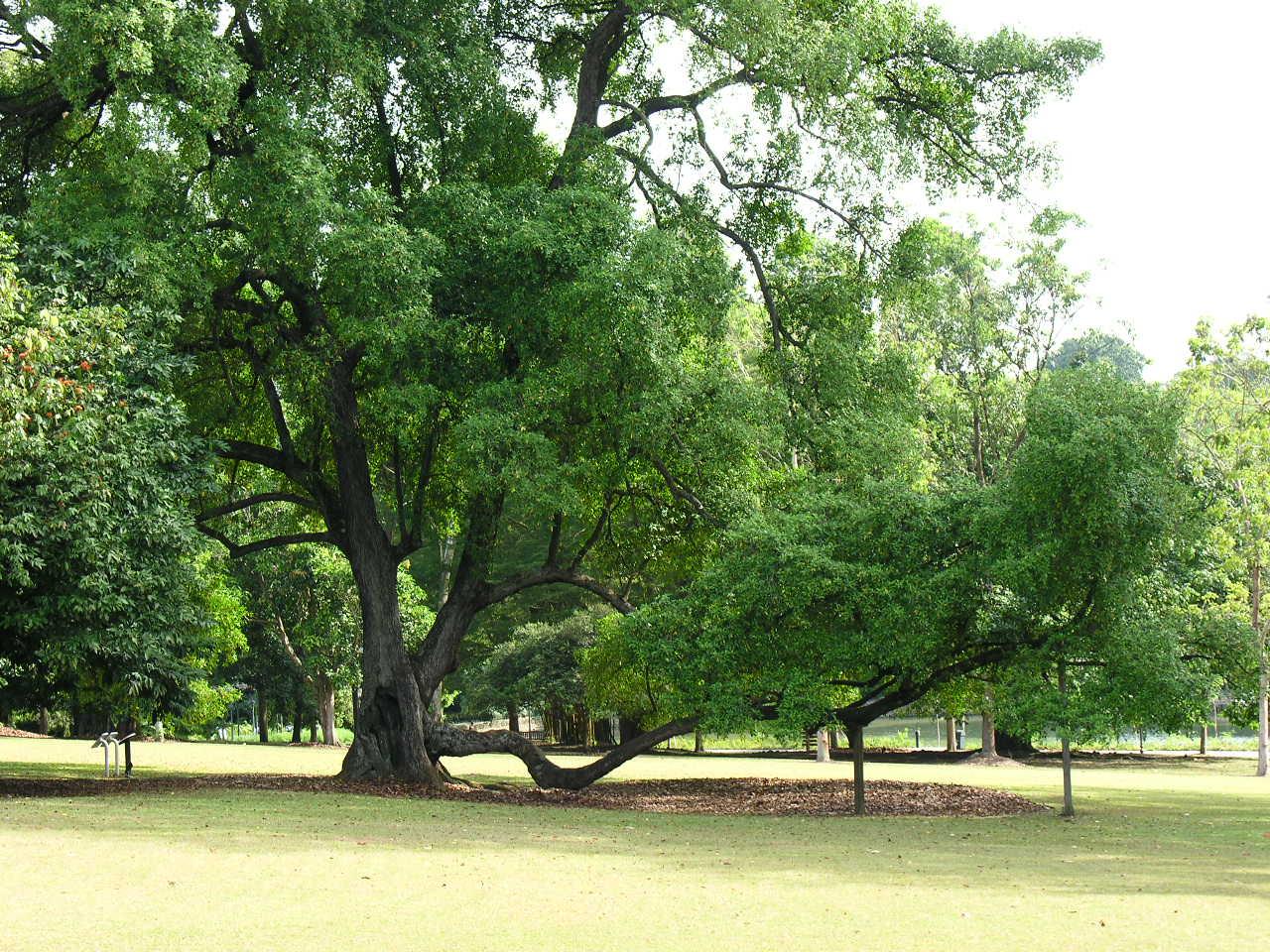 "Blog To Express: ""Tembusu Heritage Tree"" of Singapore"