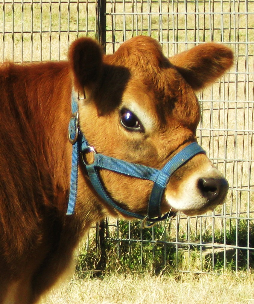 Southern Touch Farm: Miniature Jersey Cow
