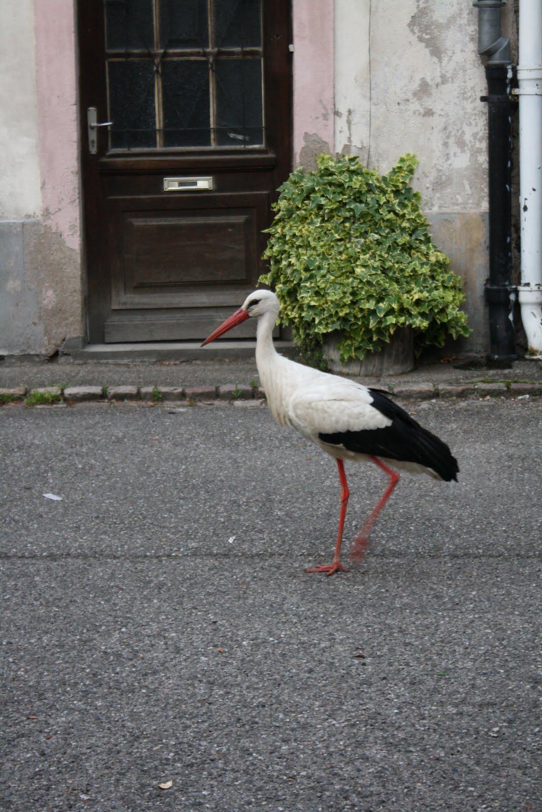 grand oiseau blanc que l on rencontre en alsace
