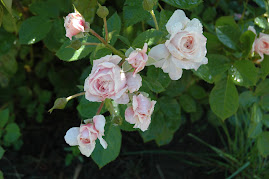 Bon Chance Rose spray  my garden