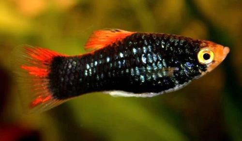 Paracheirodon axelrodi reproduccion asexual de las plantas
