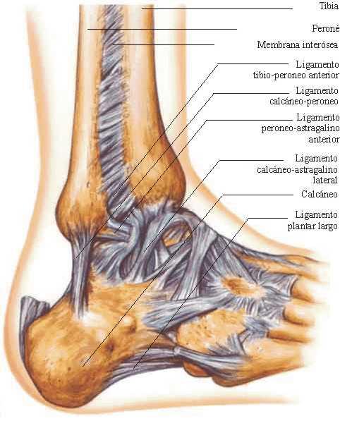 La Articulación del Tobillo | Anatomía
