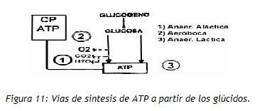 sintesis de ATP de glucidos