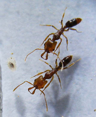 Anochetus ant workers