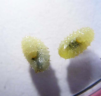 Two larvae of the trapjaw ant Odontomachus simillimus