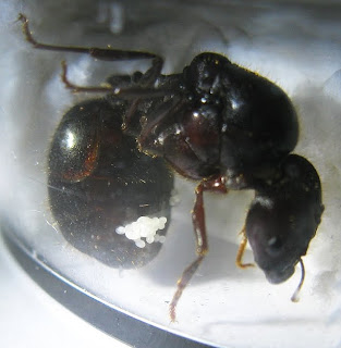 Pheidologeton diversus queen with her first clutch of eggs