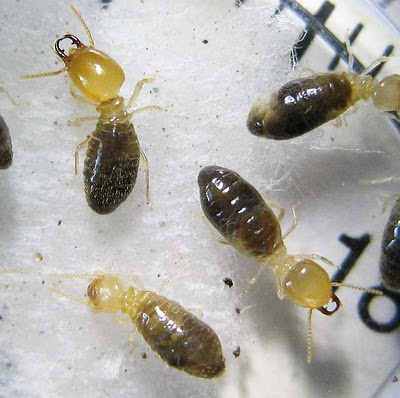 Workers and soldiers of the termite species Amitermes dentatus