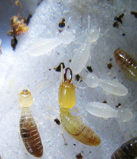 A soldier, worker and some nymphs (or larvae) of Microcerotermes biroi