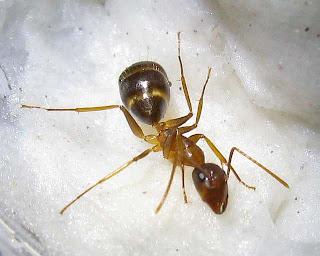 Minor worker of Camponotus maculatus pallidus