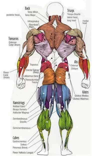 Dr Will McCarthy's Science Site: MAJOR MUSCLES of the BODY