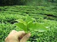 La planta medicinal del té verde en medicinas