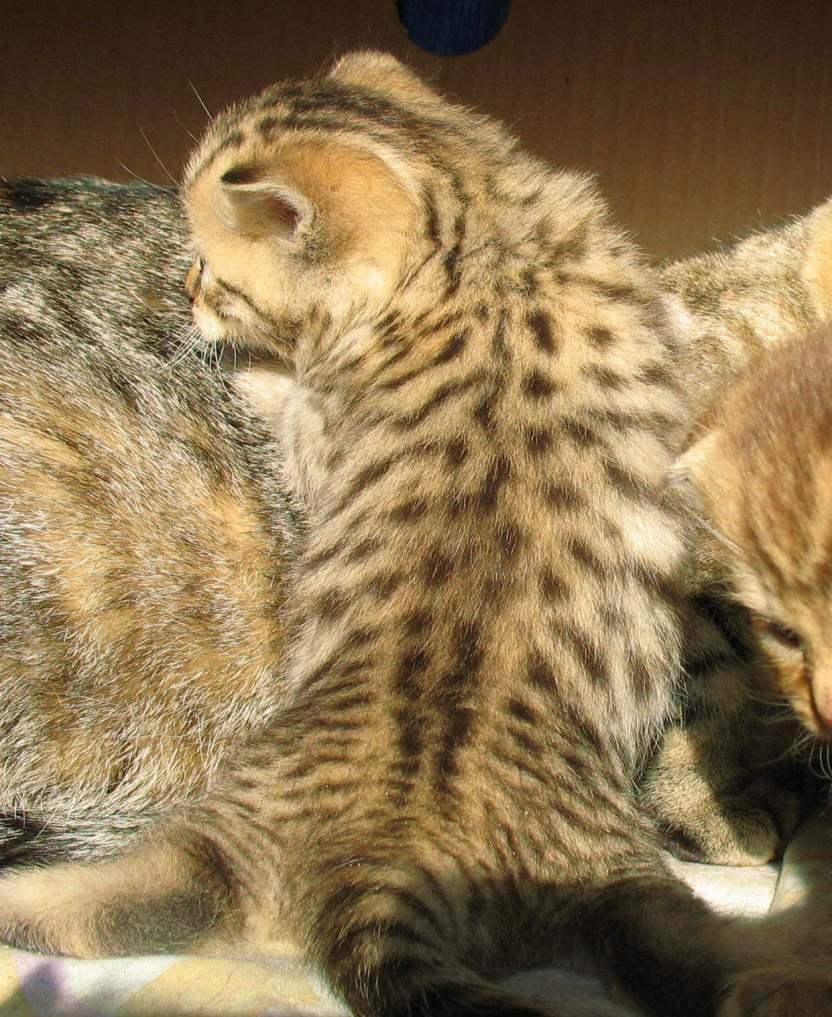 BKH Kitten golden tabby getupft