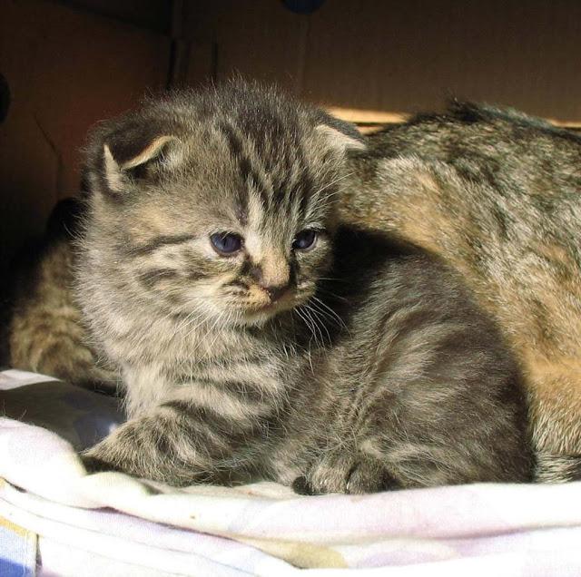 Katzenbaby Faltohrkatze Tinjas Katzenzucht