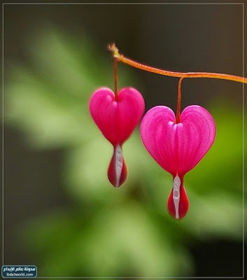 Dicentra Spectabilis Also Known As Venus S Car Bleeding Heart Dutchman Trousers Or Lyre Flower Is A Perennial Herbaceous Plant Native To Eastern Asia