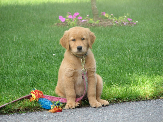 Golden Retriever Puppy's New Family
