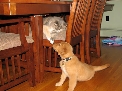golden retriever puppy meeting cat