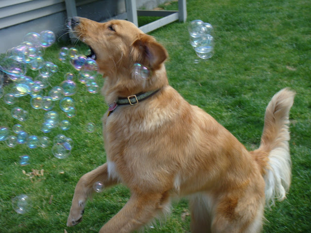 golden retriever dog fights bubbles #wordlesswednesday