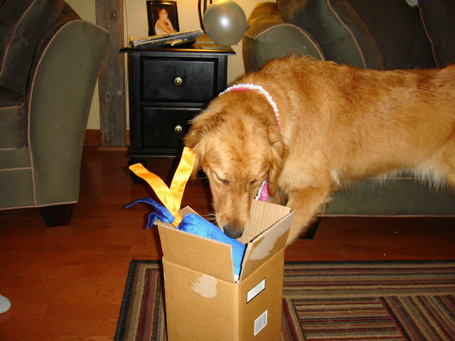 golden retriever dog gets presents for birthday