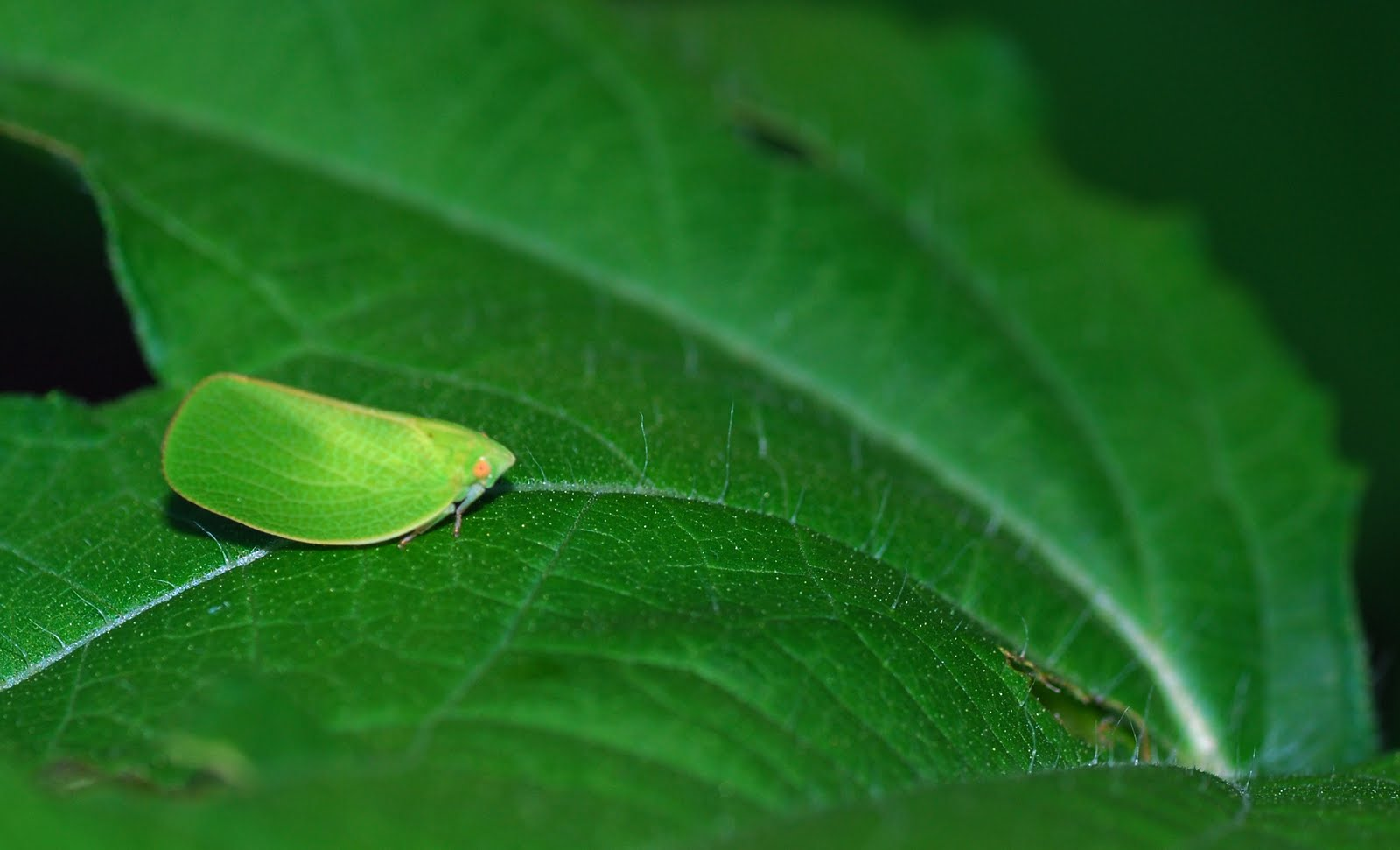 colorful leaf hopper by - photo #36