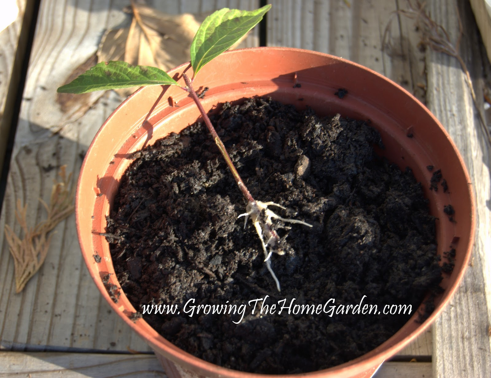Fun With Plant Propagation In August Growing The Home