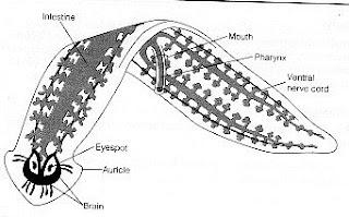 ocelli platyhelminthes skema reproduksi nemathelminthes