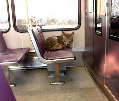 Terrierman's Daily Dose: Coyote Riding Portland, Oregon Light Rail