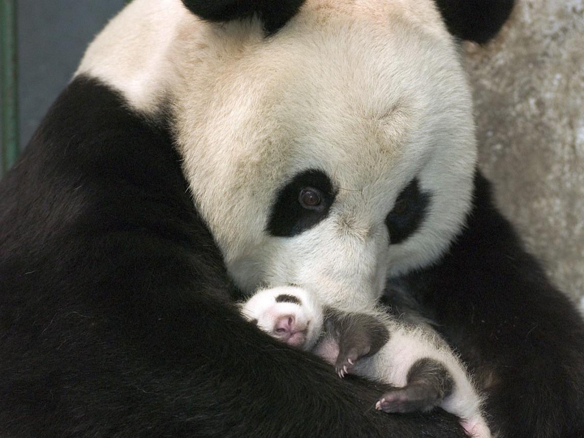 Community Village: Baby Pandas!
