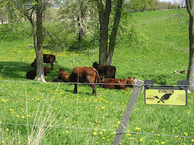 Meeting Place Organic Farm Cattle