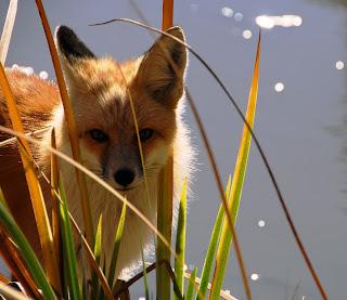 Idaho Nature Notes Red Fox