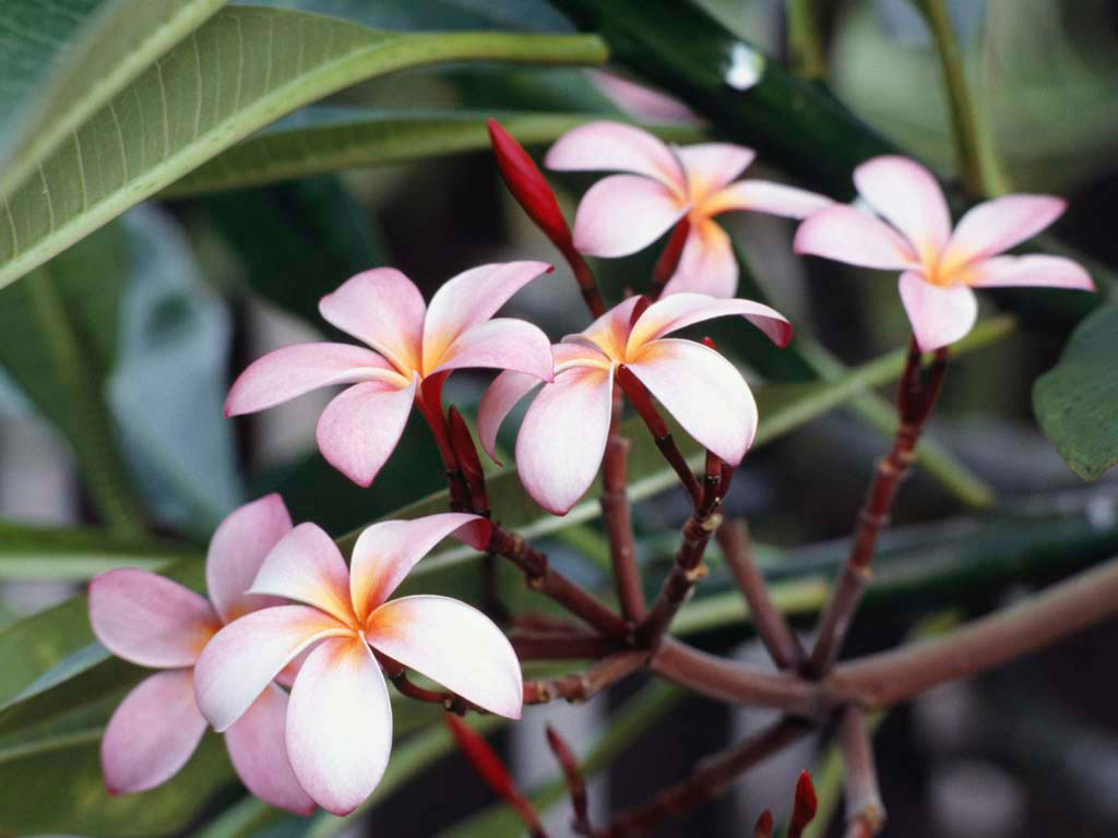 [Frangipani+Flowers.jpg]