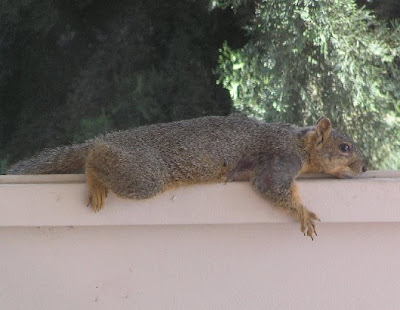 Reclining fox squirrel, photo by Rosemary West © 2009