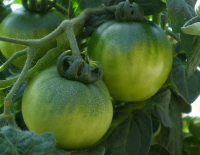 Green tomatoes, photo by Rosemary West © 2009