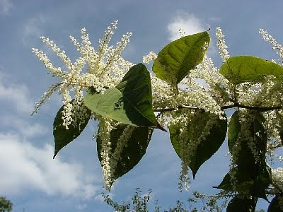 Non-native species - The Japanese Knotweed